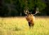 North Carolina Elk Bugling - Cataloochee Valley